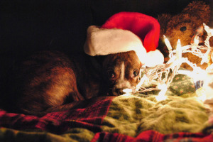 christmas-card-dog